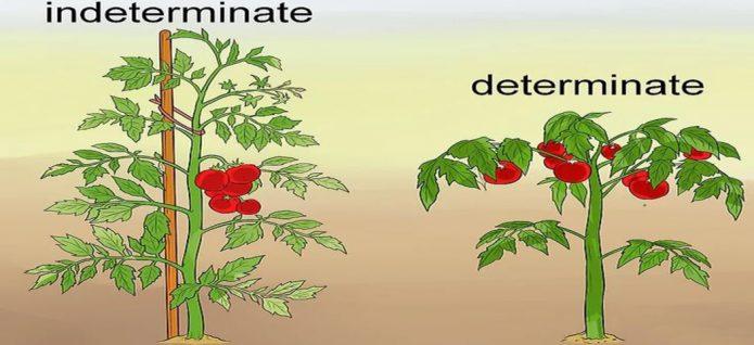 Кусты томатов детерминантного и индетерминантного типа