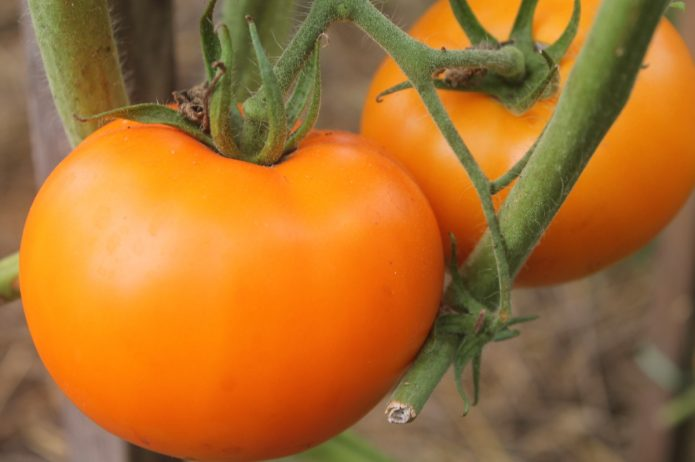 Томат Оранжевое лето