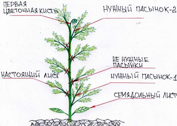 Схема формирования томата
