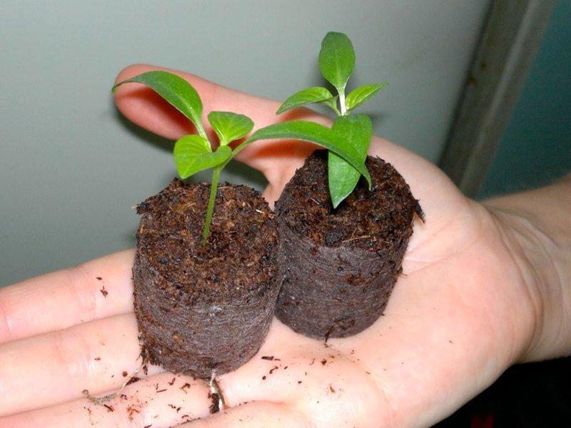 Торфяные таблетки для рассады: как пользоваться, инструкция по посадке семян