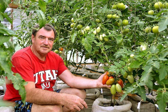 Выращивание томатов в мешках