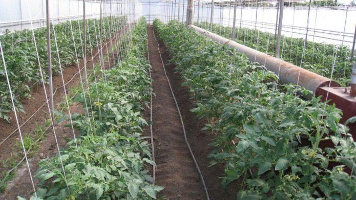 Подвязка томатов в теплице
