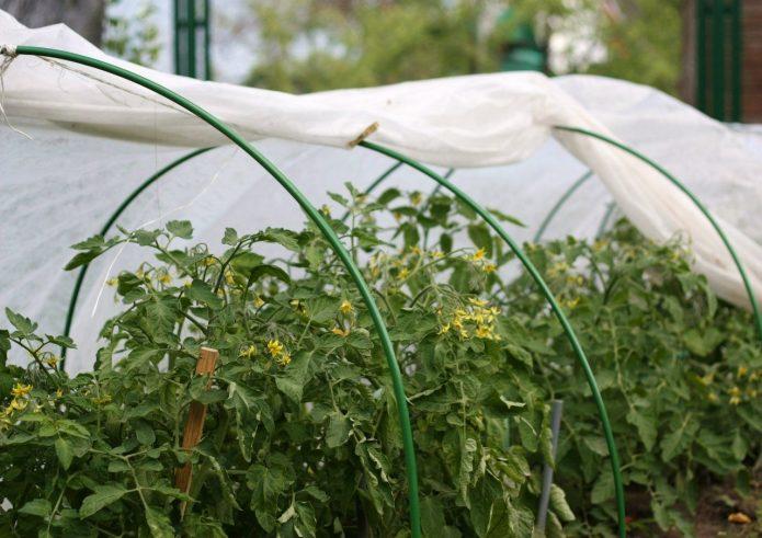 Плёночные укрытия для томатов