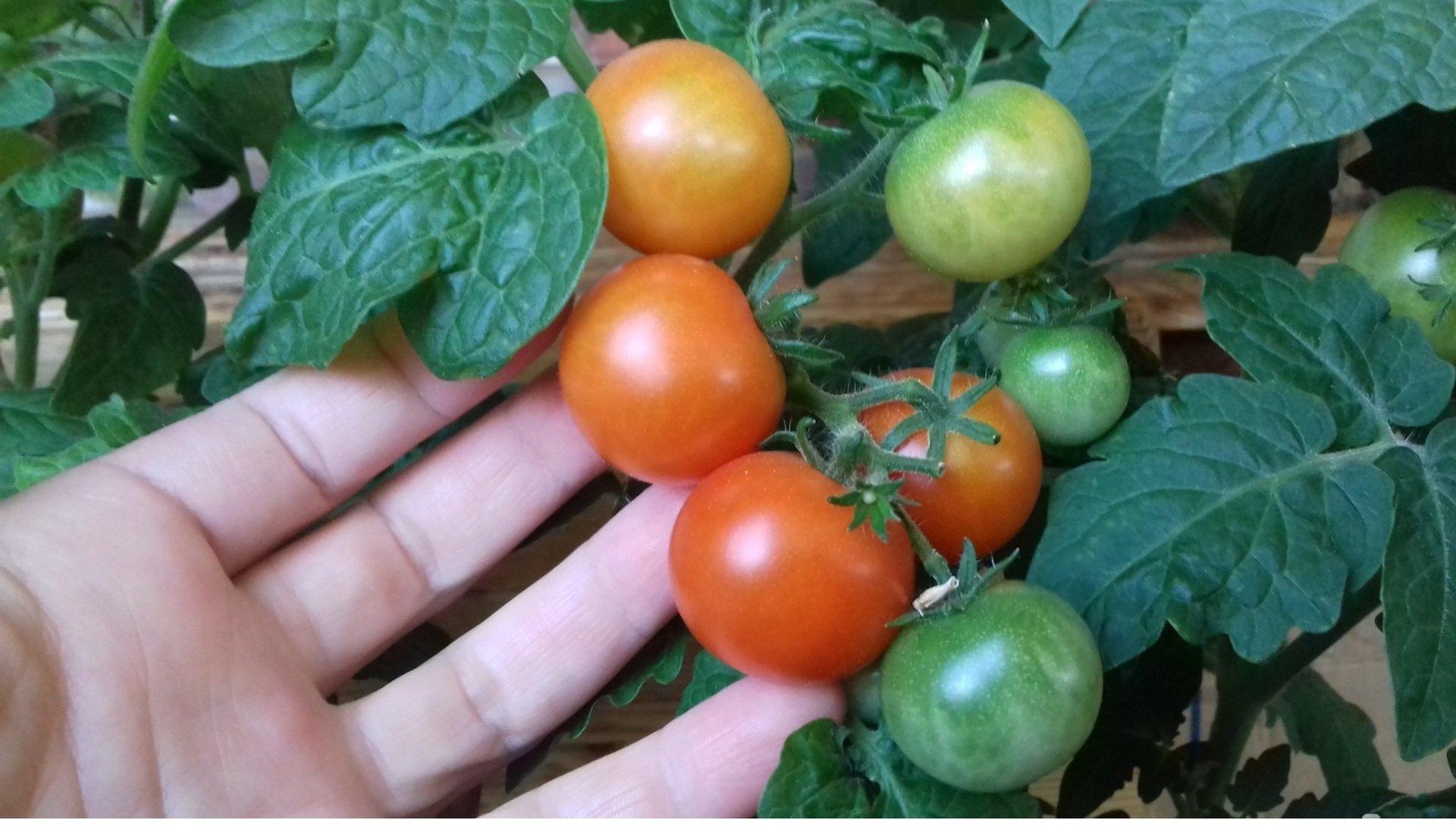 сорт помидор красная шапочка отзывы и фото