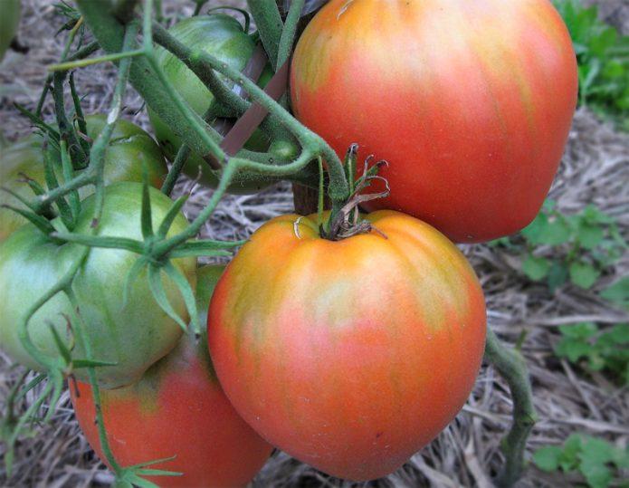 Спелые плоды томата Орлиное сердце