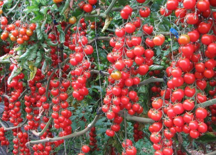 Черри-томаты кистевые