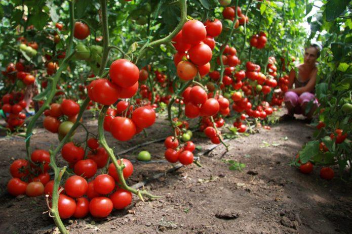 Высокорослые кусты томатов