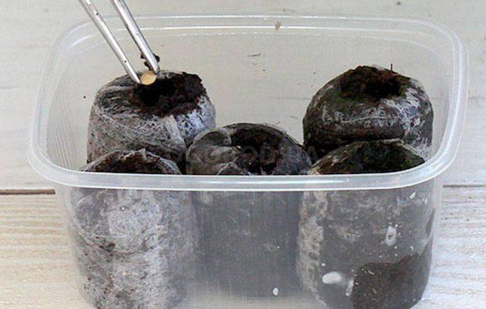 Посев перца в торфяные таблетки
