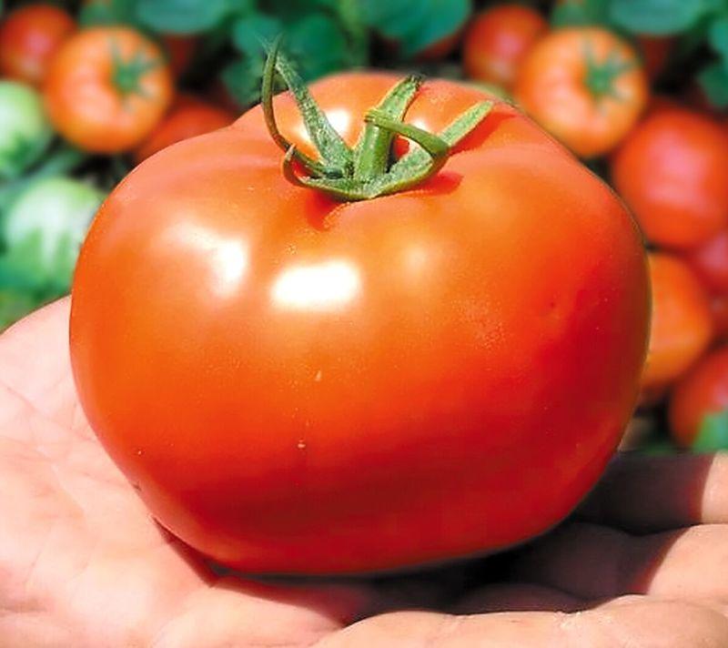 Томат Король рынка: характеристика и описание сорта, урожайность с фото