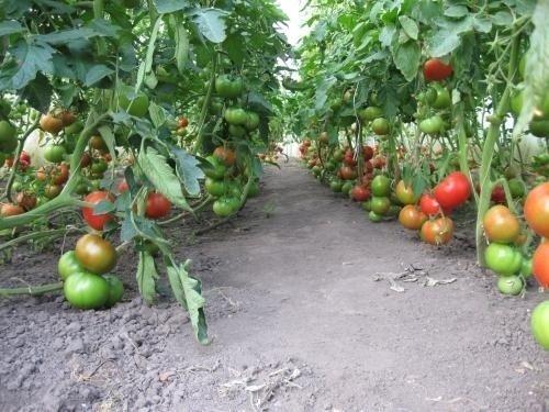 Урожай томатов Президент F1