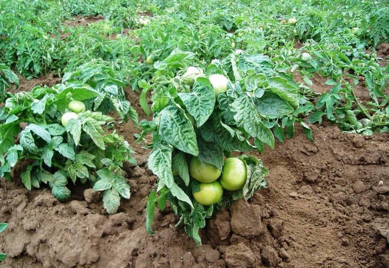 Штамбовые сорта помидоров для открытого грунта