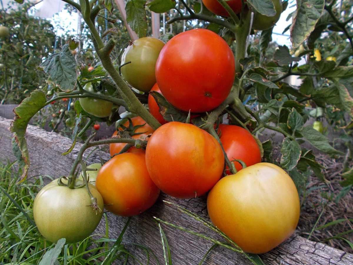 Почему отпадывает цвет у помидор
