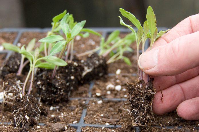 Сеянцы томатов с открытой корневой системой
