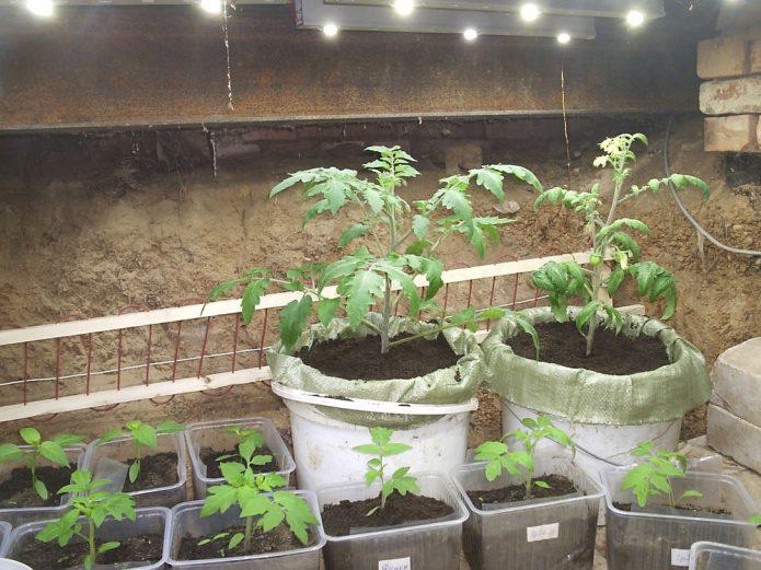 Рассада томатов в больших горшках