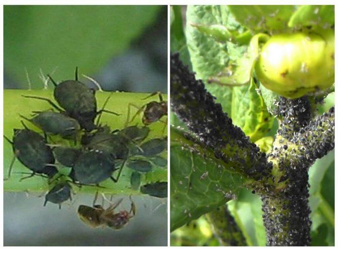 Коллаж — тля на томатах
