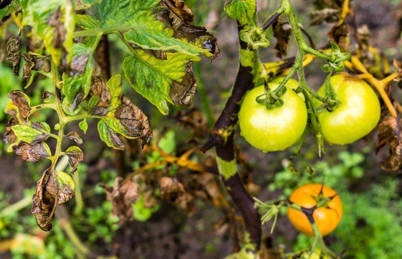 Заболевший фитофторозом томат.