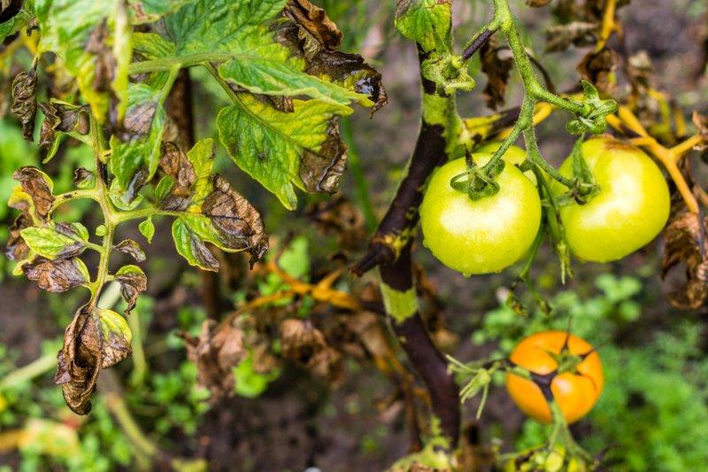 Эффективные средства защиты томатов от фитофтороза
