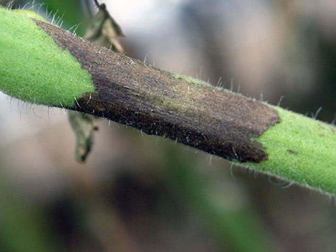 Поражённый стебель растения