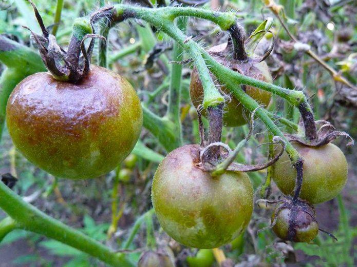 Плоды больных фитофторозом томатов