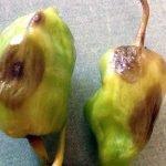 Фитофтороз перцев