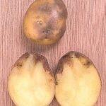 Заражённый фитофторозом клубень картофеля