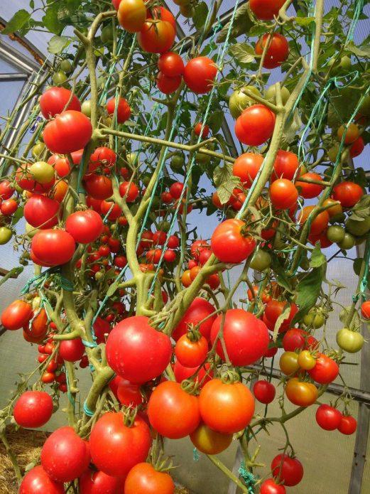 Дозревающие томаты