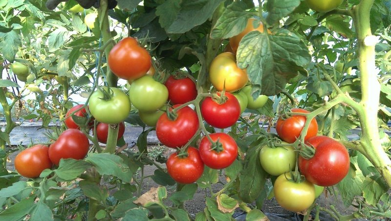 Детерминантный томат