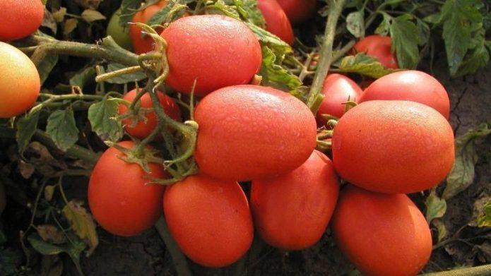 Зрелые томаты Столыпин на ветке