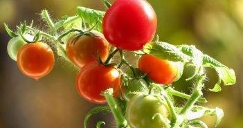 Что может быть прекраснее и вкуснее первых помидор со своего огорода