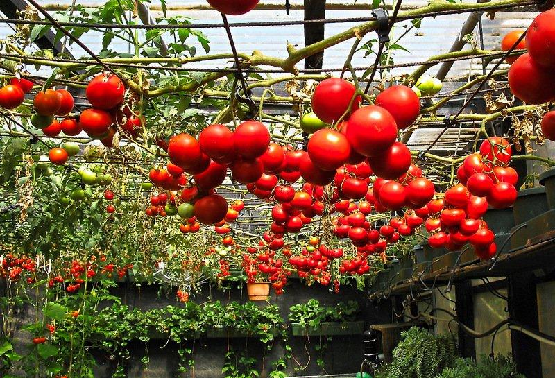 Томаты для Ленинградской области: сорта лучшие урожайные для выращивания