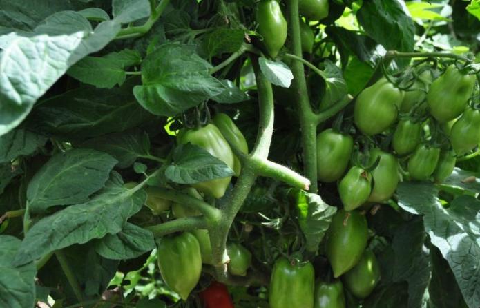 ДеКуст томатов с плодами