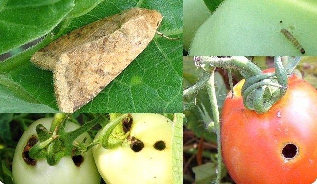 Коллаж: бабочка и гусеница совки, повреждённые плоды