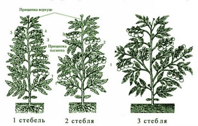 Способы формирования куста томатов