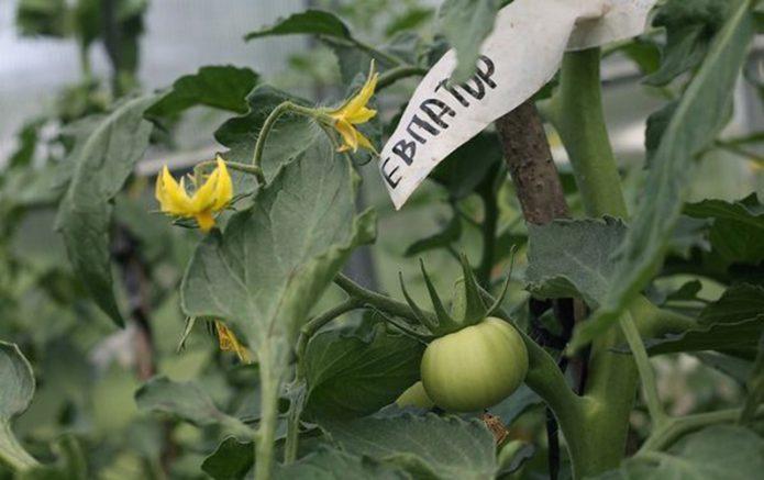 Соцветие и завязавшийся помидор сорта Евпатор
