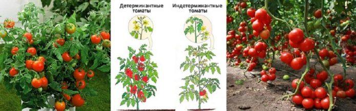 Детерминантный и индетерминантный томаты