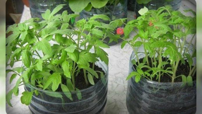 Рассада томатов в 5 литровых бутылках