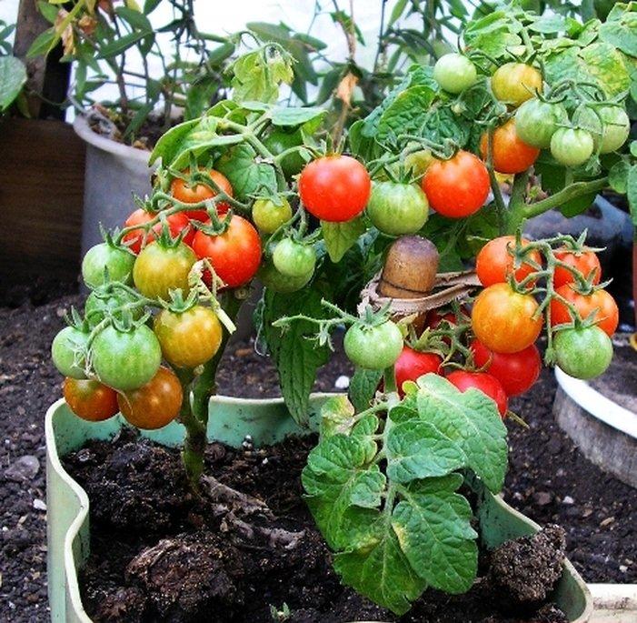 томаты дома с картинками этого бывший капитан