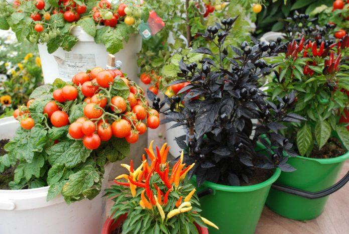томат растет в ведре
