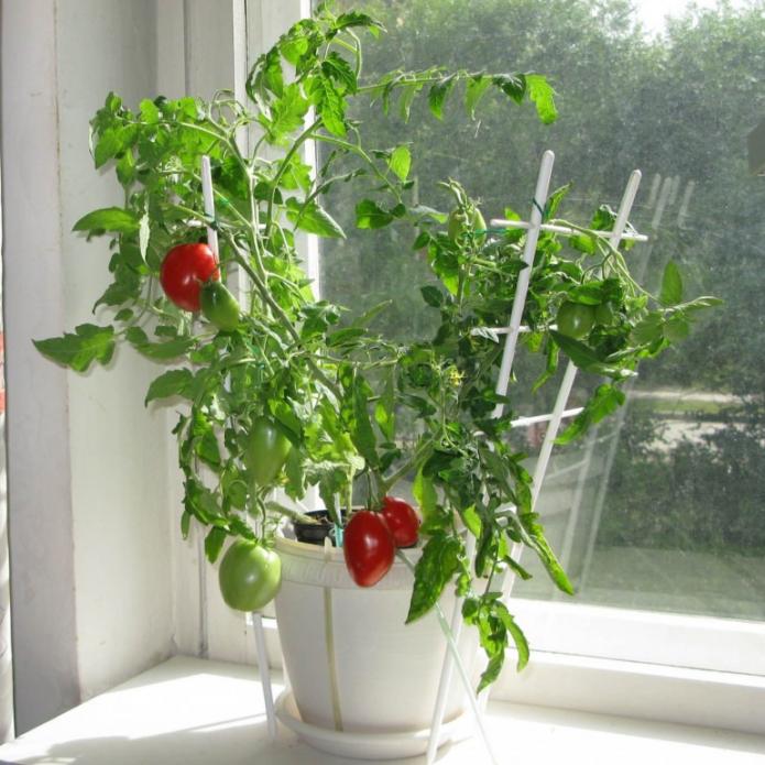 томат в горшке