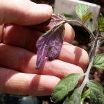 Листья рассады приобрели фиолетовый оттенок