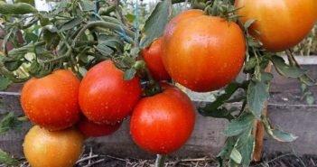 Карликовые (низкорослые) томаты в открытом грунте