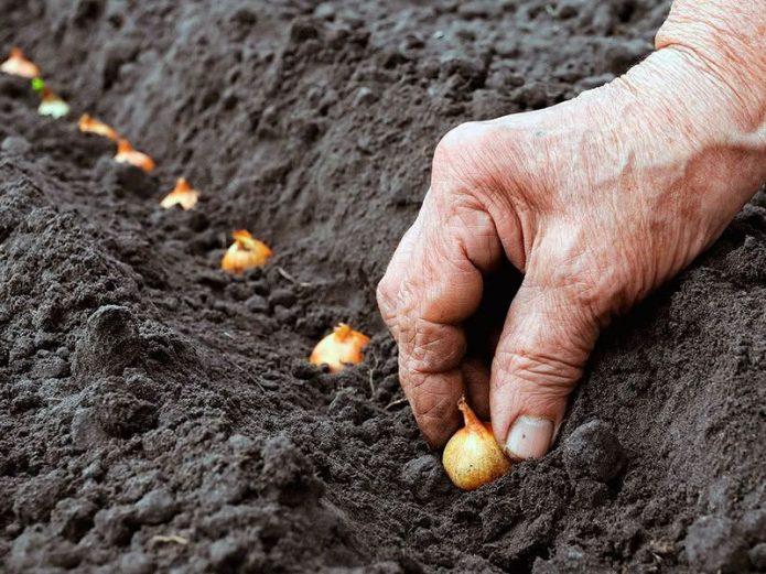 сажать лук осенью