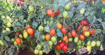 сажать томаты горизонтально
