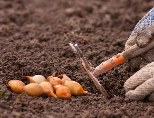Время витаминных посадок: сроки посадки лука-севка