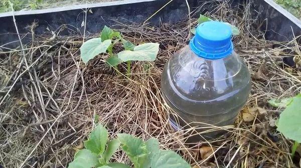 Капельный полив из бутылки
