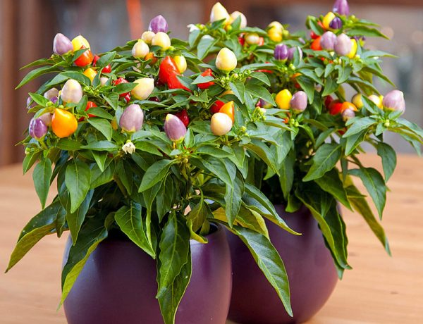 Перец на подоконнике: сочетание декоративности и урожайности