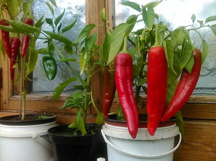 Урожай перца на подоконнике