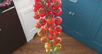 Rapunzel Tomato