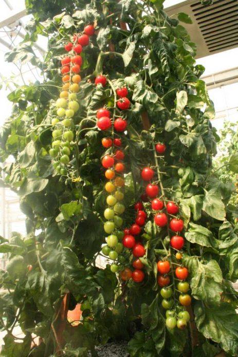 Rapunzel Hybrid Tomato