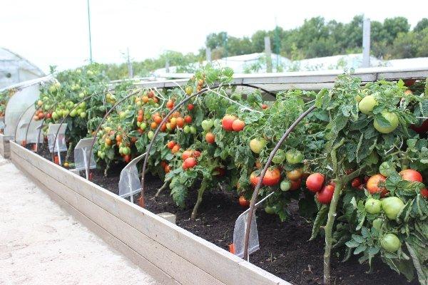 Низкорослые помидоры в парнике
